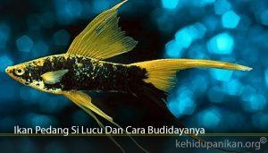 Ikan Pedang Si Lucu Dan Cara Budidayanya