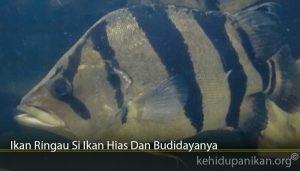 Ikan Ringau Si Ikan Hias Dan Budidayanya
