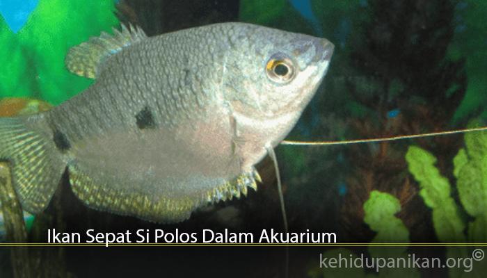 Ikan Sepat Si Polos Dalam Akuarium