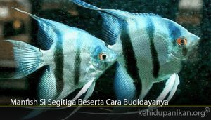 Manfish Si Segitiga Beserta Cara Budidayanya