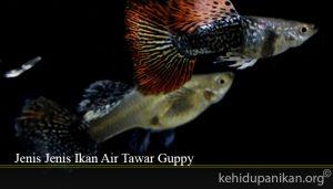 Jenis Jenis Ikan Air Tawar Guppy