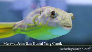Merawat Jenis Ikan Buntal Yang Cantik