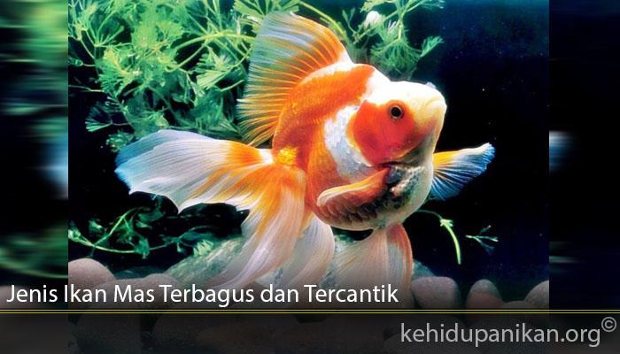 Jenis Ikan Mas Terbagus dan Tercantik