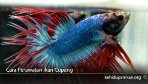 Cara-Perawatan-Ikan-Cupang