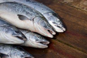 Langkah-Langkah-Membudidayakan-Ikan-Salmon
