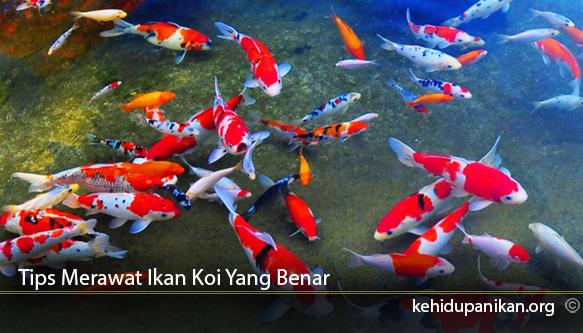 Tips-Merawat-Ikan-Koi-Yang-Benar